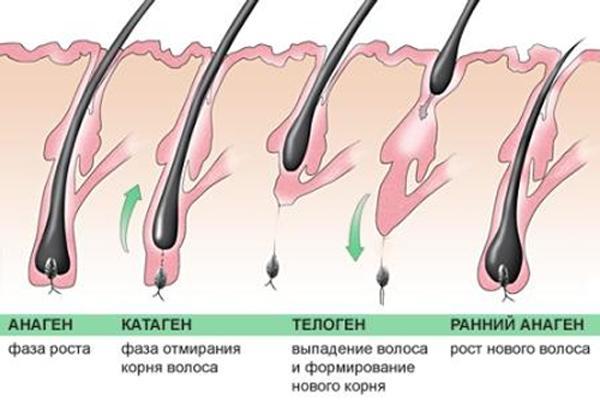 Схема роста волос