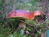Фотография по темеБелый гриб сосновый