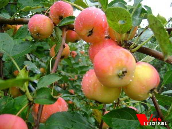 ранетки яблоки фото