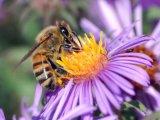 Пчёла собирает нектар из цветка