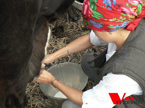 Процесс дойки парного молока
