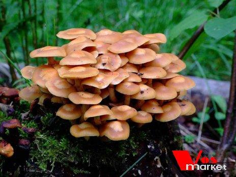 Фотография молоденьких грибов опят