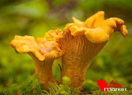 Настоящие грибы Лисички