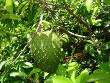 Плод и листья Гравиолы имеют тёмно-зеленый цвет
