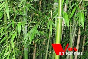 Зеленый тростник