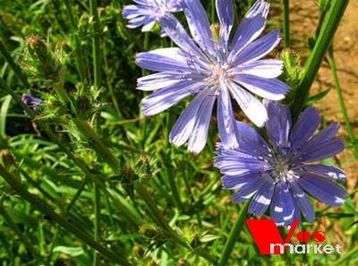 Цикорий цветочек
