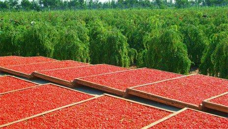 Так сушат свежие ягоды Годжи