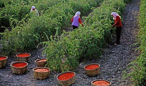 Как собирают ягоды