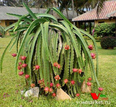 Дерева на которым растет Питахайя