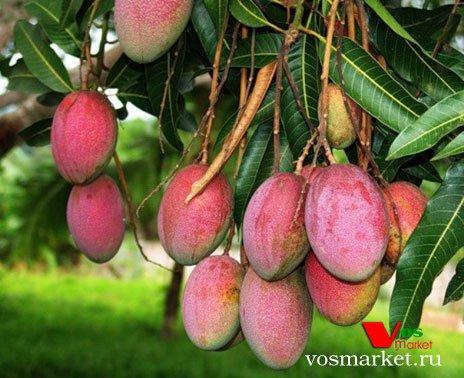 Веточка с фруктами манго