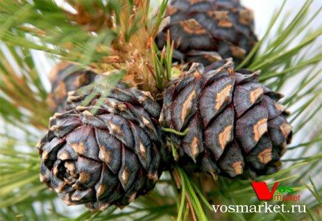 Дерево с шишками кедровых орех