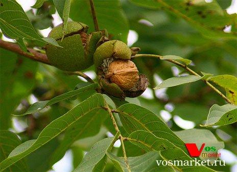 Плод грецкого ореха на дереве