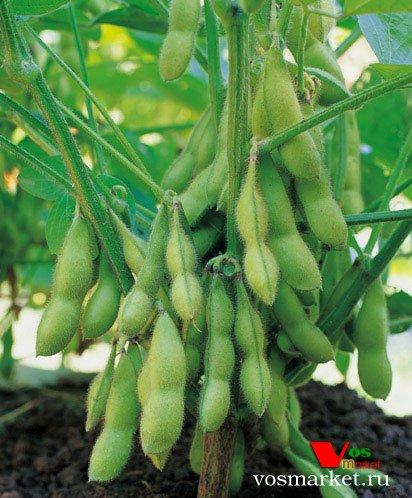 Растение соя