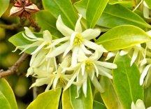 Цветки Бадьяна