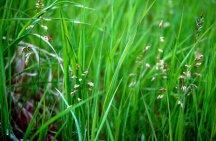 Растения Зубровка