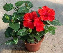 Цветок Гибискуса - Каркаде