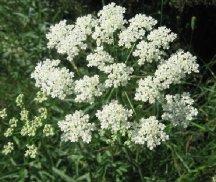 Растение Бедренец
