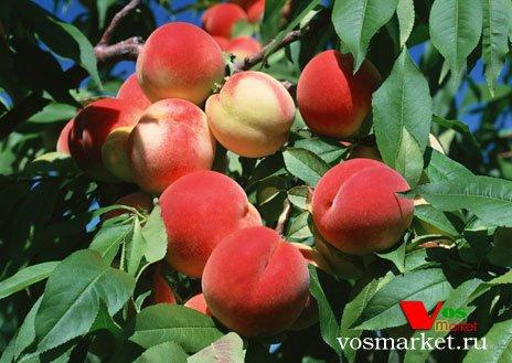Персиковая дерево с плодами