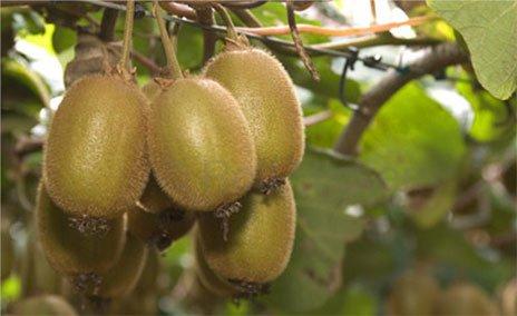 Веточка с спелыми фруктами киви