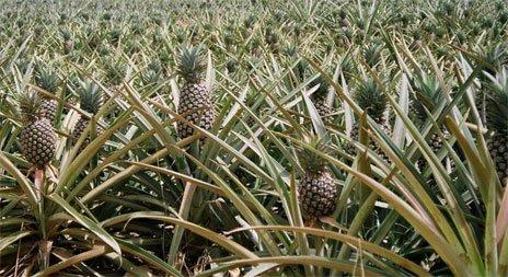 Выращивание фрукта ананаса