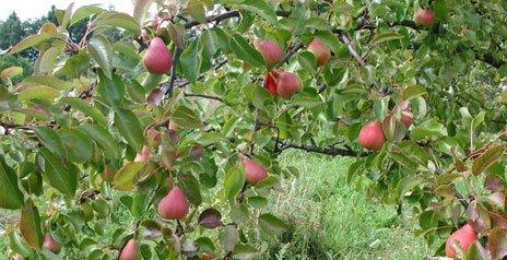 Ветка с плодами груши