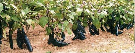 Спелые баклажаны в огороде