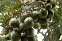 Ветка с плодами авокадо