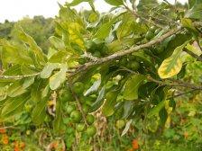 Дерево орех Макадамия