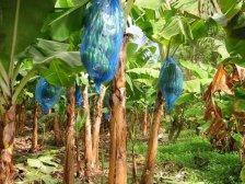 Банановые дерева