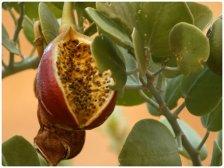 Зревший плод растения каперс