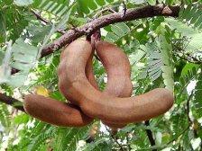 Тамаринд фрукт на дереве