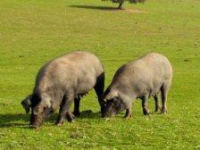 породания хомон свиней для изготовле