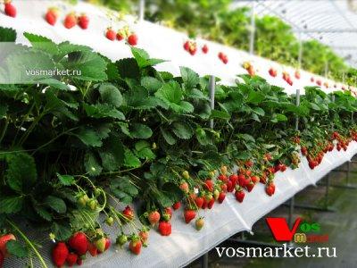 Парниковое выращивание клубники