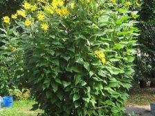 Растение топинамбур